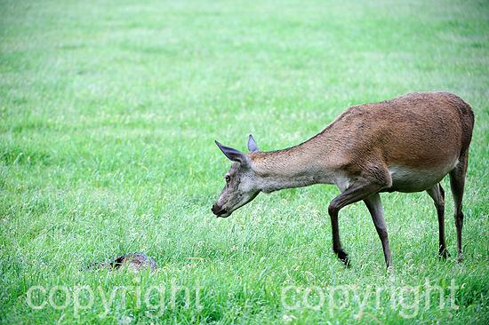 Rotwild im Frühling auf der Waldwiese
