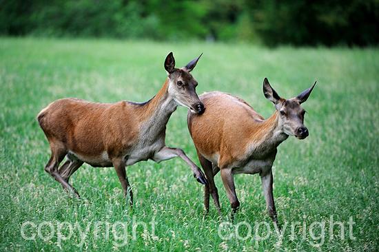 Rotwild Anfang Juni beim Äsen auf Waldwiese