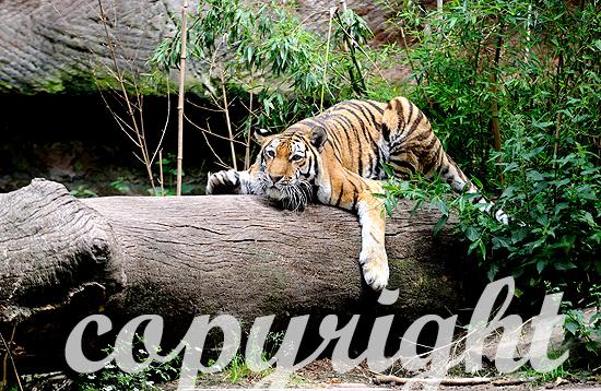 Amur- oder Sibirischer Tiger