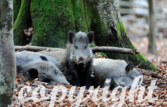 Wildschweine in Buchenmast