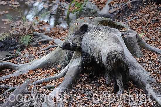 Wildschweine, Buchenmast