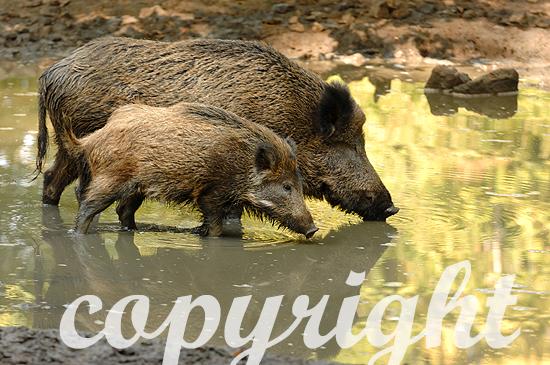 Wildschweine zur Buchenmast