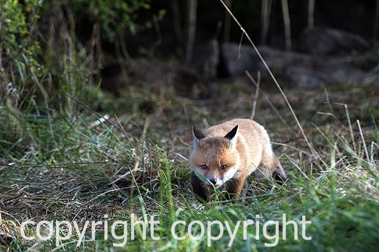 Fuchs, Jungfüchse