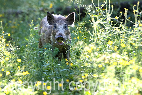 Wildschweine im Frühsommer