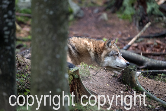 Wölfe