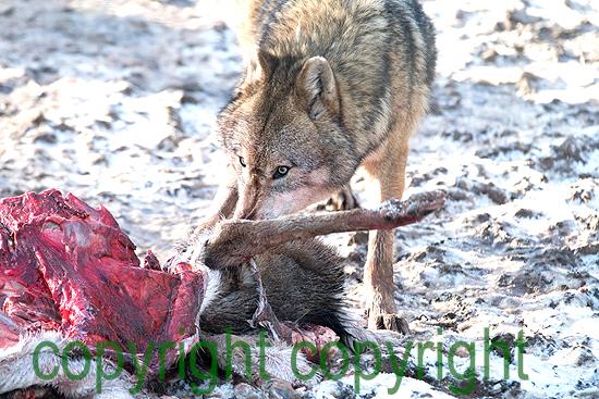 Wölfe im Winter