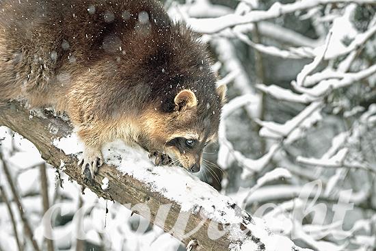 Waschbär im Winter