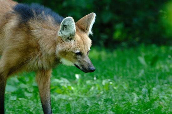 Mähnenwolf - Chrysocyon brachyurus