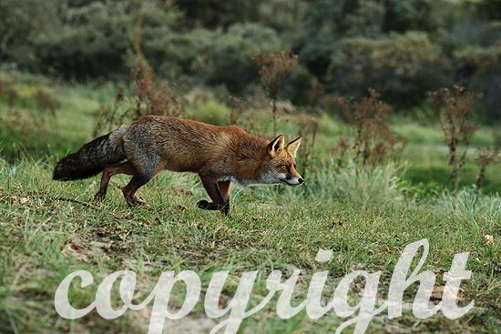 Fuchs,