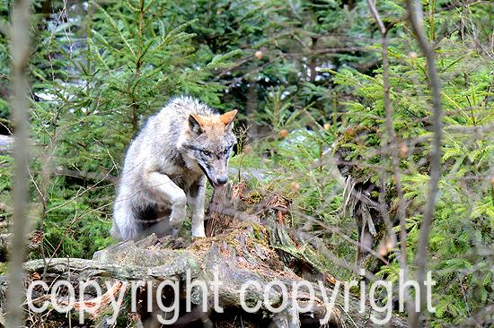 Wolf im März