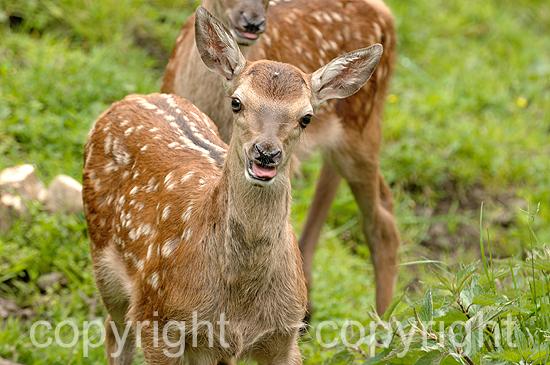 Rotwild, wochenalte Hirschkälber auf Hochalm i. Frühling