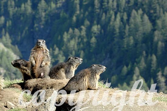 Wachsame Murmeltier-Gruppe im Frühjahr im Hochgebirge