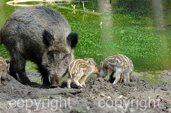 Wildschwein-Bache an der Suhle