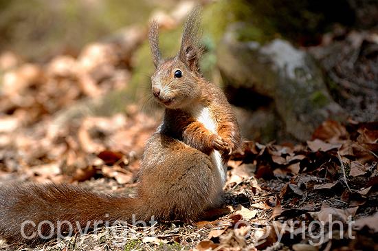 Futtersuchendes Eichhörnchen