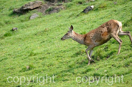 Rotwild, Hirschkühe auf der Hochalm im Frühjahr