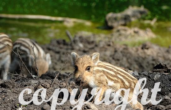Wildschwein-Frischlinge an der Suhle