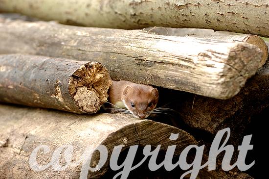 Hermelin auf Beutesuche im Frühling