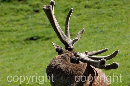 Rotwild, Kolben-Hirsche im Frühling auf Hochalm