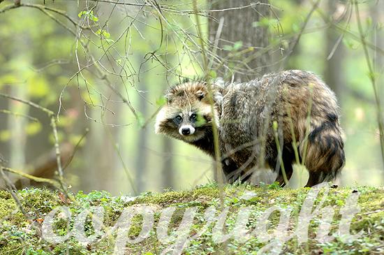 Marderhund im frühen Frühjahr