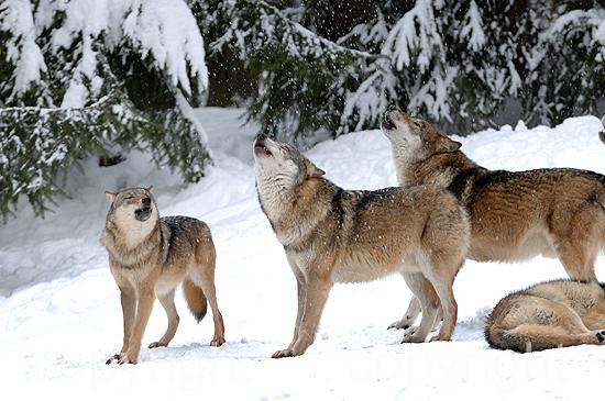 Heulende Wölfe im tiefen Winterschnee