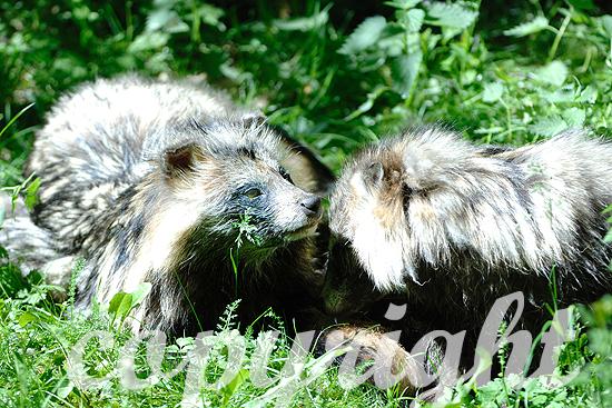 Zwei Marderhunde bei der Fellpflege