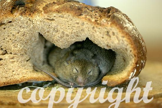 Wanderratte im Brot