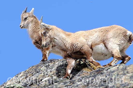Steinbock - Capra ibex
