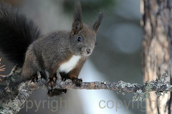 Europäisches Eichhörnchen - Sciurus vulgaris