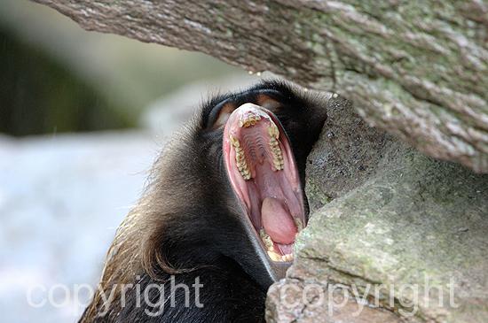 Affen-Dschelada aan_0053