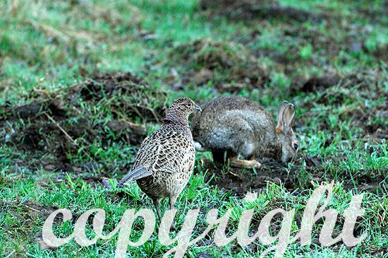 Fasanen-Henne im Frühjahr mit Wildkaninchen