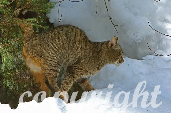 Wildkatze - Felis sivlestris