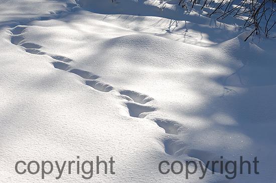 Elchspur im Schnee