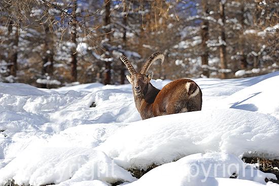 Steinbock im Winter