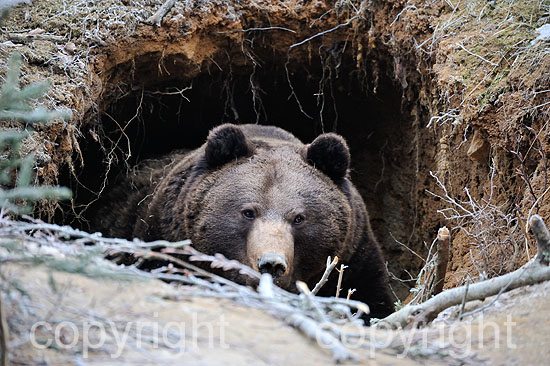 Bär, Braunbär