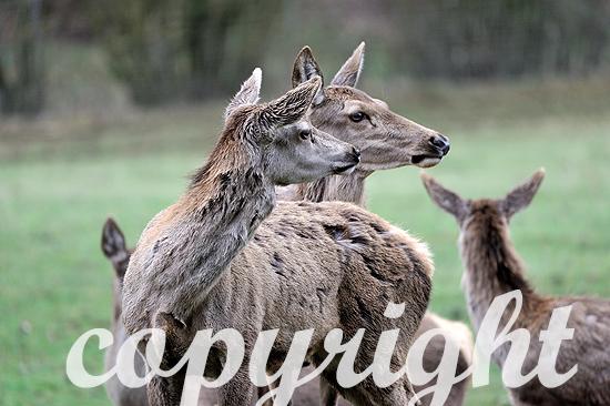 Rotwild, Rothirsche, Hirsche