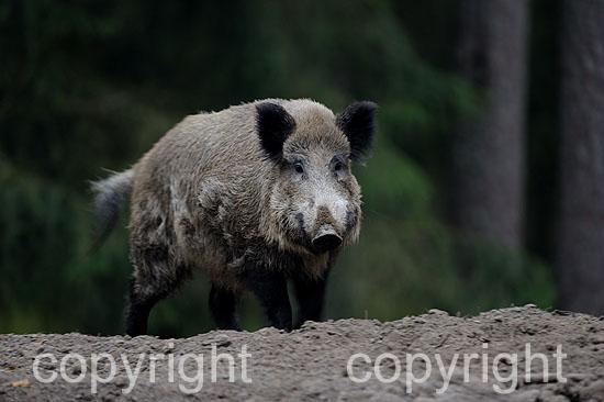 Wildschwein an der Suhle, Herbst