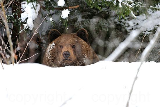 Braunbär im verschneiten Winter