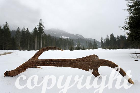 Geweihstange im Schnee