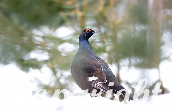 Birkhahn im Winter