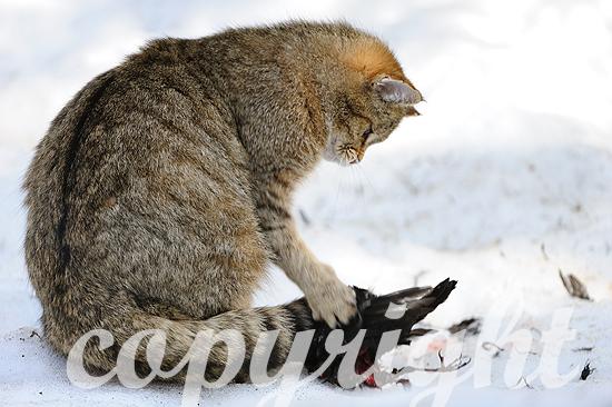 Wildkatze mit Beute
