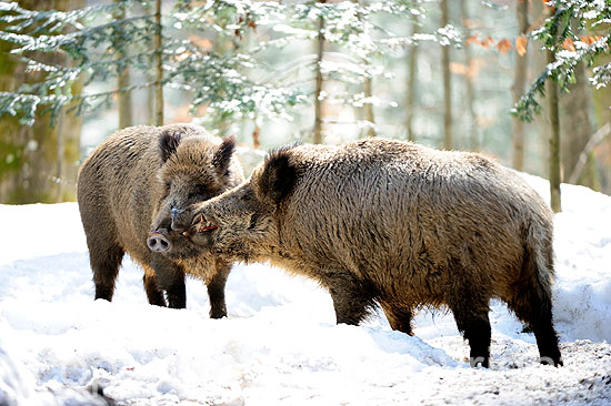 Wildschweine im Spätwinter