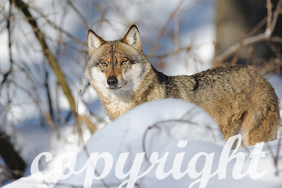 Wolf in Winterlandschaft