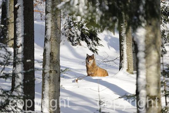 Wolf in Winterlandschaft