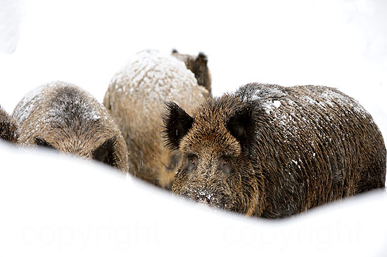 Wildschweine im Tiefschnee
