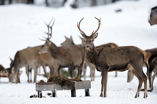 Rotwild im Winter