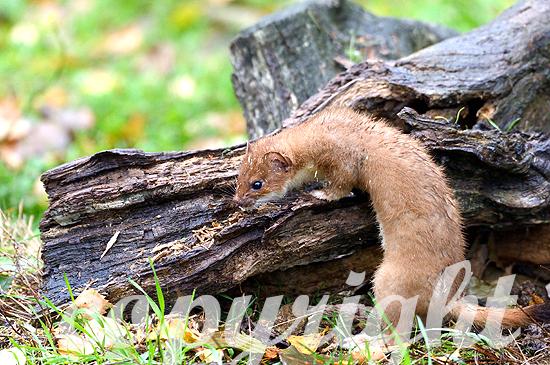 Hermelin, Großes Mauswiesel