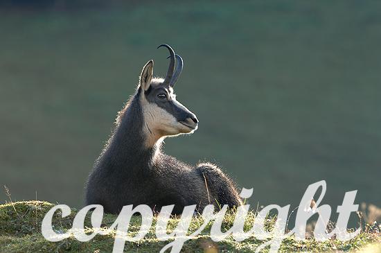 Gemse - Rupicapra