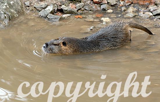 Nutrias - Mycastor coypus