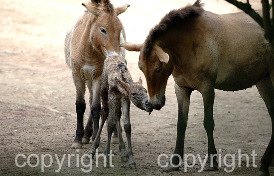 Przewalski Urpferde - Equus przewalski