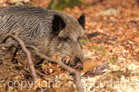 Wildschwein; Sus scrofa scrofa